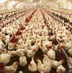 طرح-توجیهی-پرورش-مرغ-گوشتی