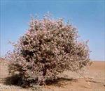 مقاله-ترجمه-شده-کشاورزی-پایدار--گیاه-شوره-زار--گونه-گیاهی-شوری-زی-برای-کشاورزی-پایدار-در-مناطق