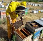 پاورپوینت-پرورش-زنبور-عسل
